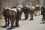 Buffalo on the Road Bijapur