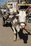 Ox Pulling Cart Bijapur