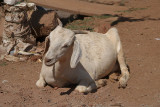 Goat on the Ground Bidar