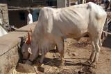 Ox Eating Bijapur