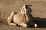 Sitting Goat Bijapur