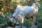 White Ox with Tassles Bijapur