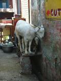 Shy Goats