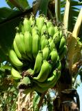 Buncha Bananas