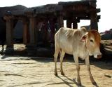Cow in the Temple
