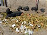 Piggy-Wigs