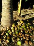 Coconut Graveyard