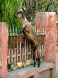 Upright Goat