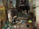 Cows Block Road