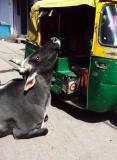 Stubborn Cow