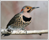 Northern Flicker D3N_1307.jpg