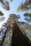 The Mariposa Grove