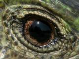 green lizard's eye
