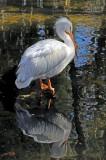 White Pelican - Wildlife State Park