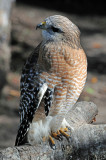 Hawk - Wildlife State Park