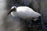 Wood Stork - Wildlife State Park