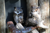 Owls - Wildlife State Park
