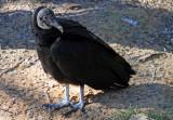 Black Vulture - Wildlife State Park