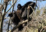 Black Vultures - Wildlife State Park