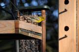 Pine Warblers or Dendroica pinus