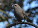Catbirds - Dumetella carolinensis