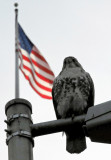 Hawk on Lamp Post with Flag on Top of NYU Main Building