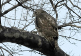 Hawk in Sycamore Tree