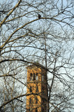 Hawk in Sycamore Tree above Judson Church Bell Tower