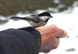 A Black Capped Chickadee in Hand