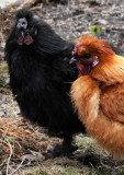 Rooster Vistors