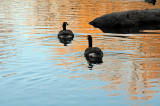 Canadian Geese at the Duck Pond