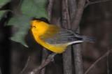 Prothonotary Warblers - Protonotaria citrea