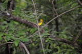 Prothonotary Warbler - Protonotaria citrea