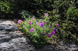 Petunias - Garden View