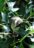 Common Yellowthroat Wabler