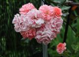 Paul Bocuse Roses
