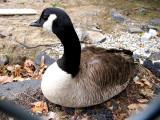 Juvenile Canadian Goose