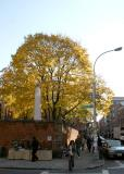 Yellow Maple Tree at Saint Patrick's Old Church