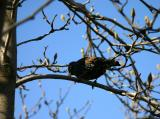 Starling in a Tulip Tree