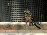 Starling on a Park Bench