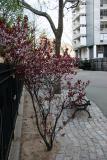 Prunus Bush