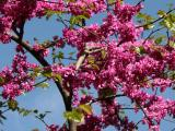 Cercis Tree Blossoms