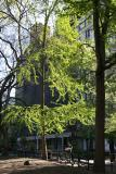 Ginkgo Tree New Foliage - Washington Square East