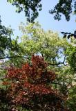 Locust , Cherry and Oak Tree Foliage