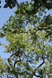 Locust and Oak Tree Foliage