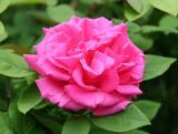 Zephrine Drouhin Roses