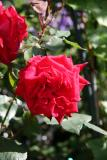 Lovers Lane Roses