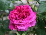 Empereur du Maroc  Roses