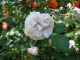 Souvenir de la Mal Maison Roses