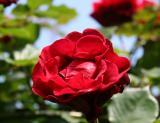 Don Juan Rose